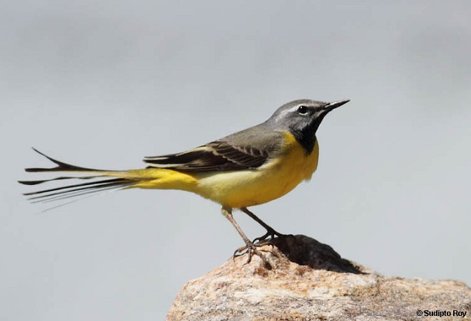 Grey Wagtail (Motacilla cinerea) male in breeding plumage, © Sudipto Roy