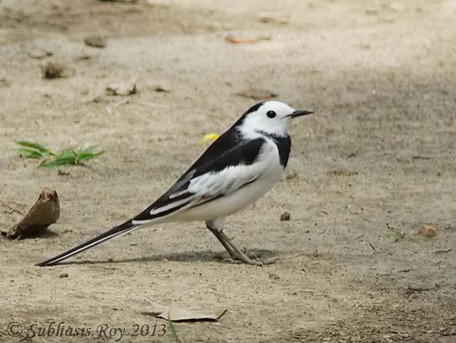White Wagtail (Motacilla alba) male in breeding plumage, © Subhasis Roy