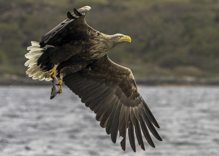 sea_eagle_close_up