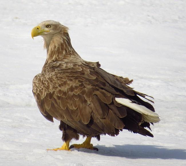 sea_eagle_close_up_2